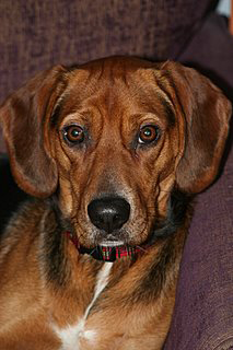 beagle coonhound dog pet