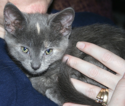 gray kitten pet adopted