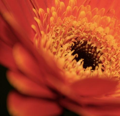 orange gerber daisy macros