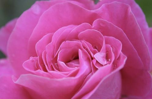 pink rose macros