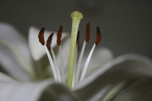 white lily stamen macros
