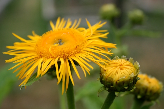 yellow flower and buds